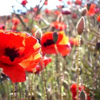 Poppies_small_medium