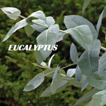 Eucaluptus_20right2_medium