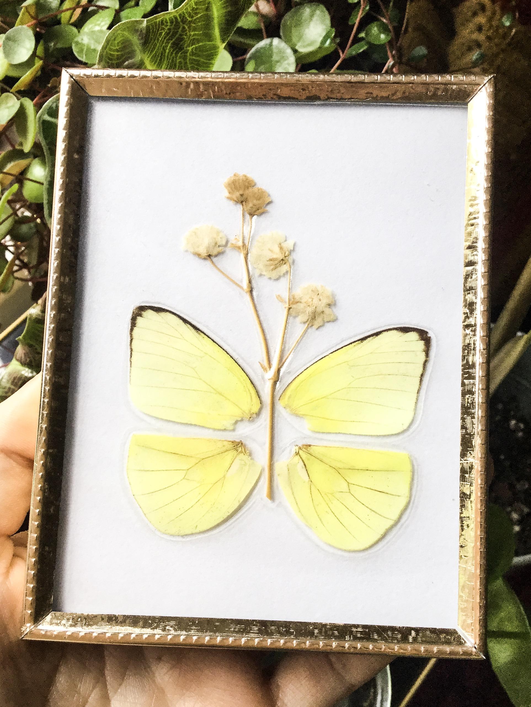 Real Butterfly Wings Framed · Merak Market · Online Store Powered by ...