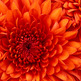 Chrysanthemum_small