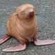 Ginger_seal