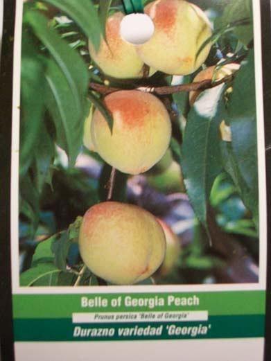 4'-5' Belle of Georgia Peach Tree sold by My eNursery